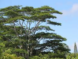 (Falcataria moluccana) albizia is an invasive N-fixer.
