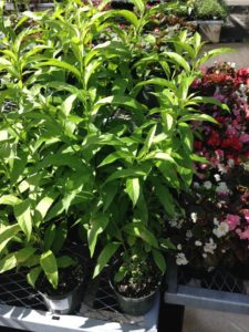 night blooking jasmine sold in garden centers