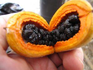Hōʻawa fruits are a favorite food of the ʻalalā.