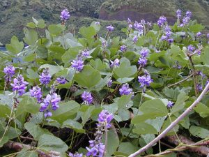 (Pueraria montana) Kudzu vine is an invasive nitrogen fixer.