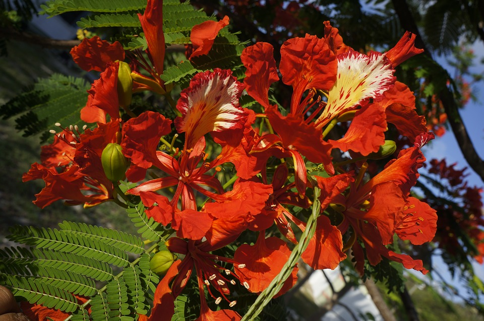 royal poinciana has red and orange flowers