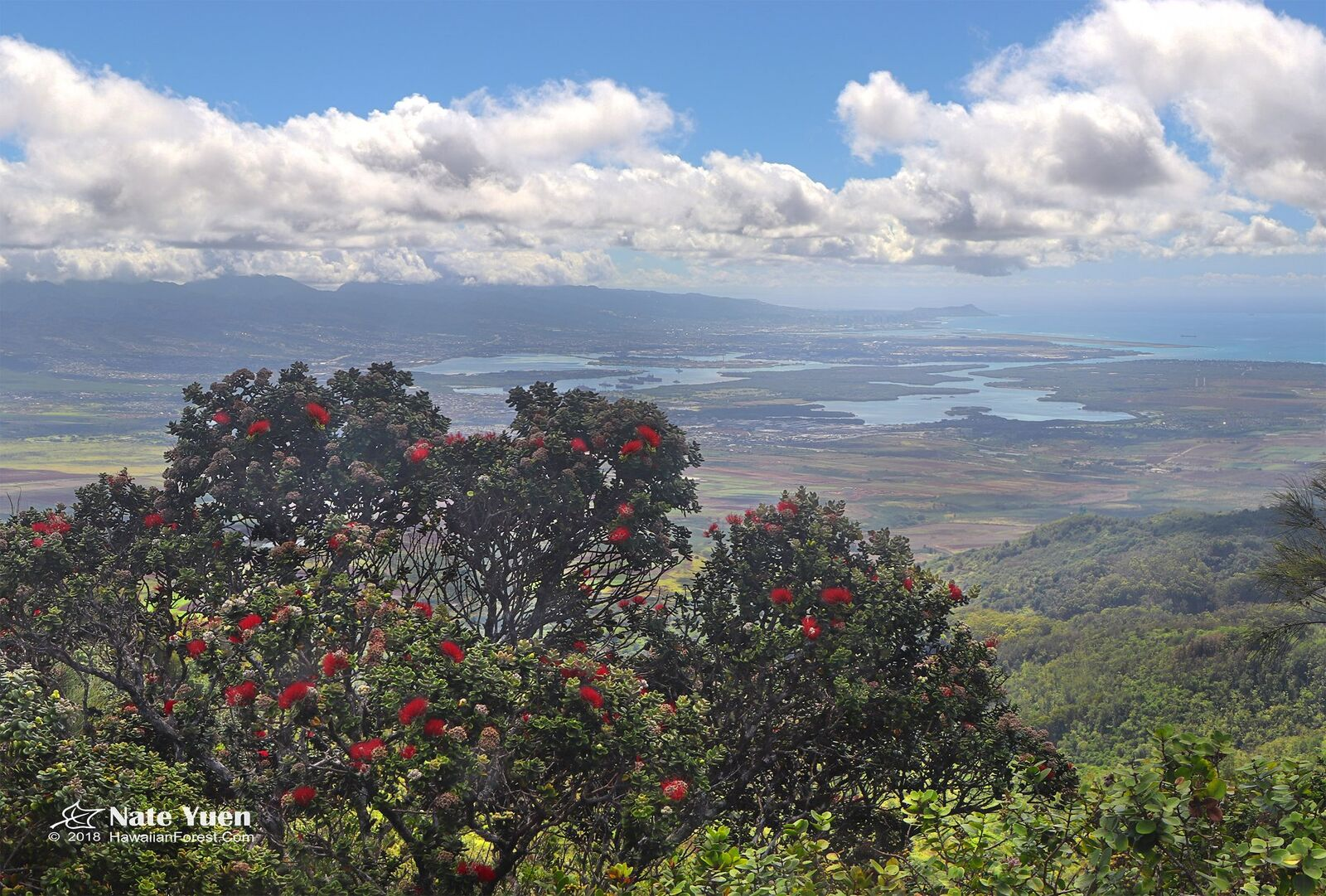 Large ohia tree overlooking peninsula
