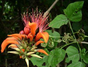 (erythrina variegata) coral tree is a pono nitrogen fixer.