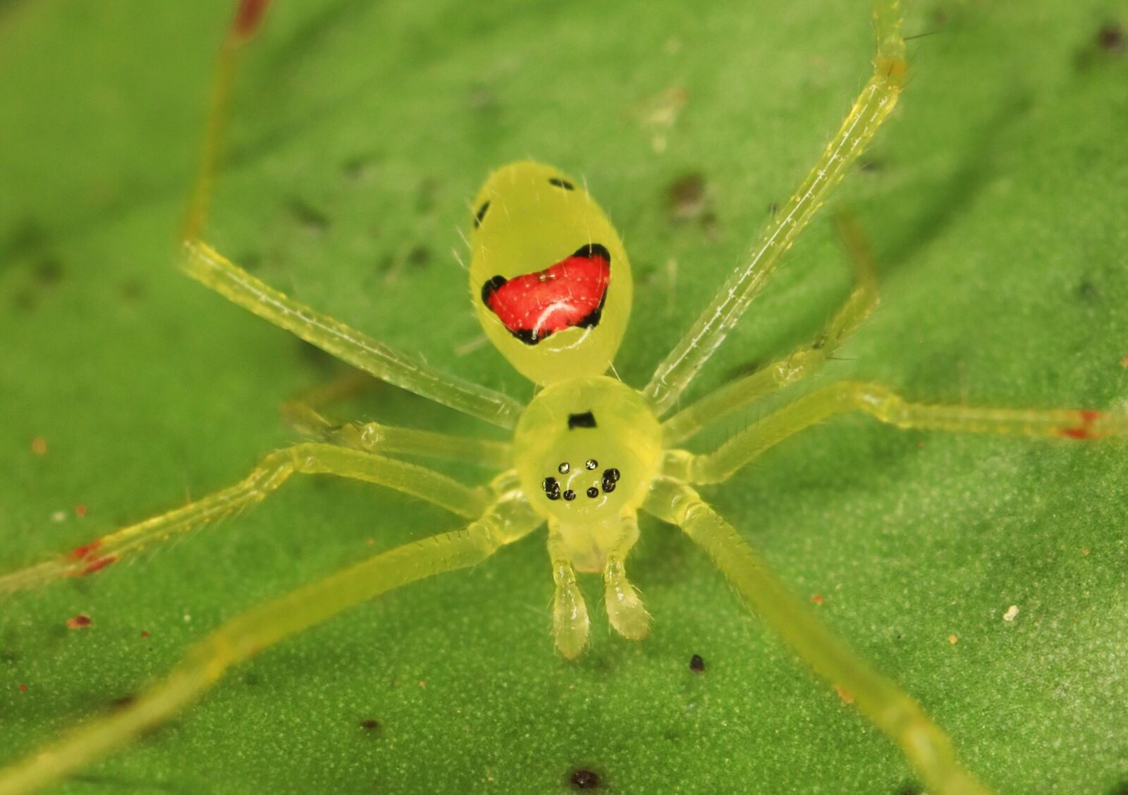 Happy faced spider on a leaf